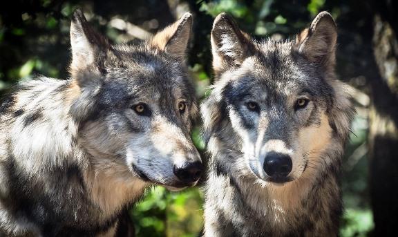 wolf-2984865_960_720.jpg