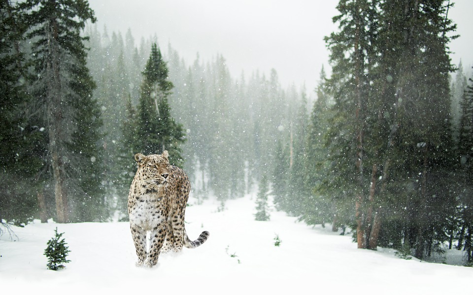 persian-leopard-1647940_960_720.jpg