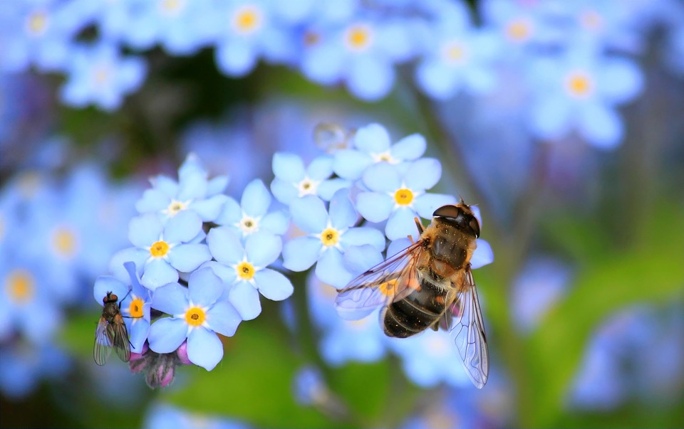 forget-me-not-257176_960_720.jpg