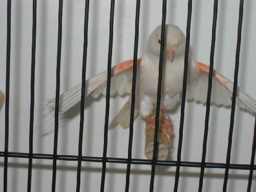 Canari lipochrome rouge mosaïque femelle