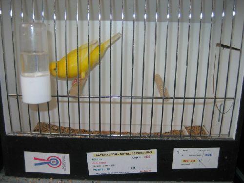 Canari lipochrome jaune intensif