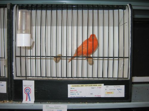 Canari lipochrome rouge ivoire