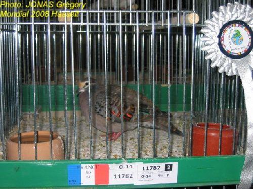 colombe lumachelle
