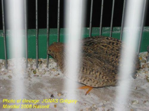 caille de Chine écaillée couleur sauvage, femelle