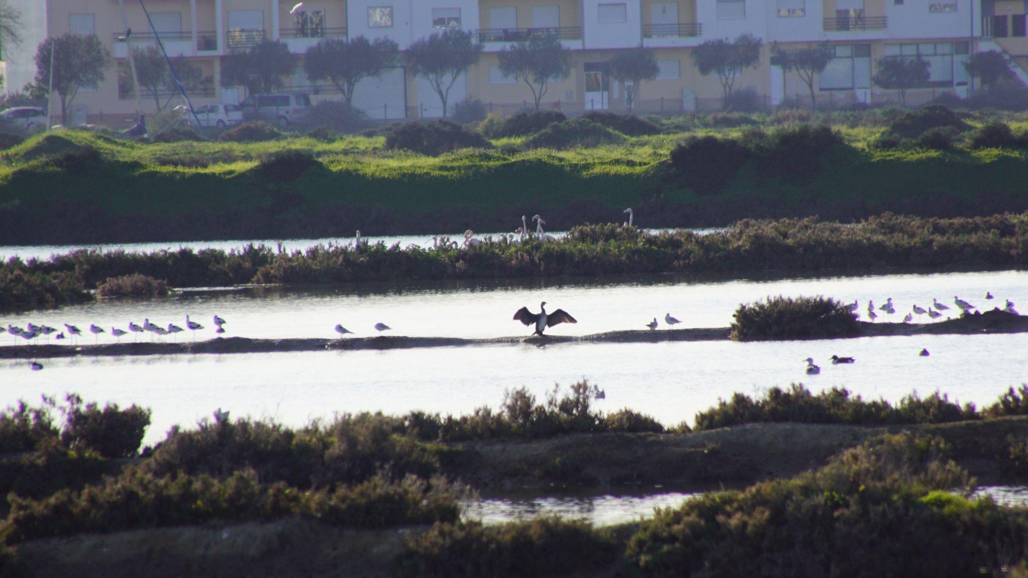Beaucoup d'oiseaux viennent passer l'hiver dans la Ria Formosa. Entre autre le grand Cormoran.