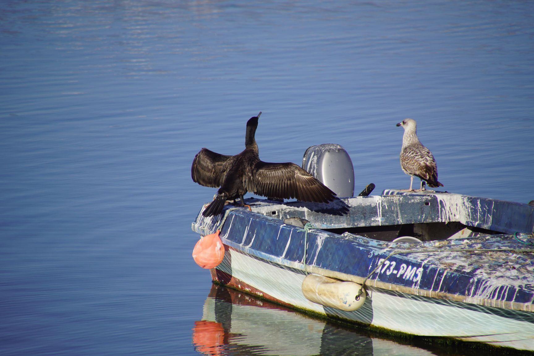 Un cormoran se sèche les ailes.... Ya du boulot de nettoyage sur le bateau