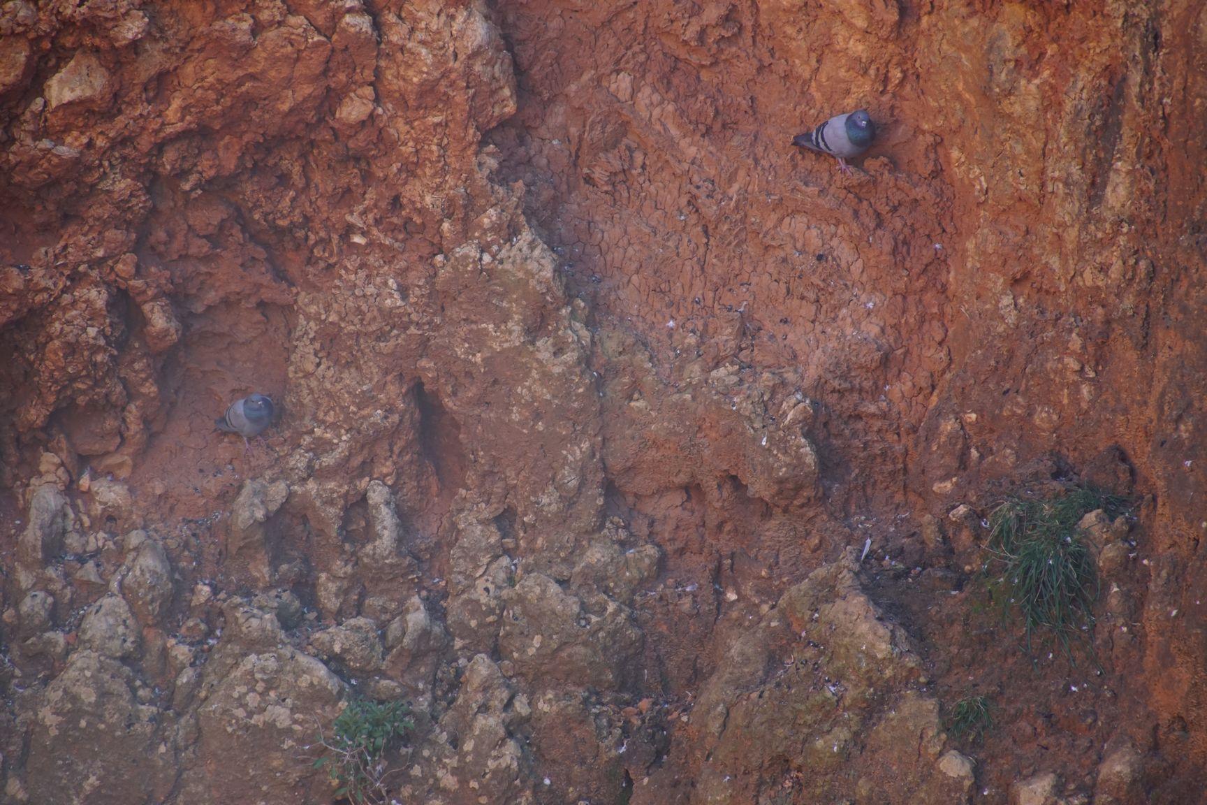 Les pigeons trouvent refuge dans les éboulements de la roche