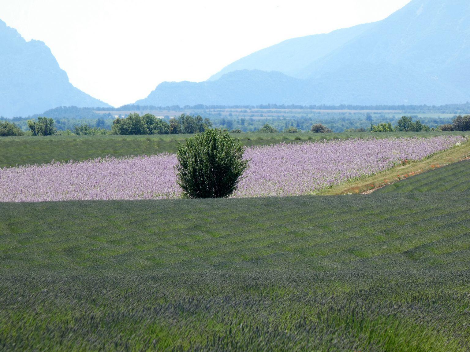 Plus rose que la lavande, des champs de lupins blancs et roses dont les graines servent à la nourriture du bétail. Mais aussi très connus au Portugal sous le nom de Tremoços