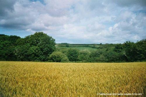 Un champ de blé près de Roz-Vein