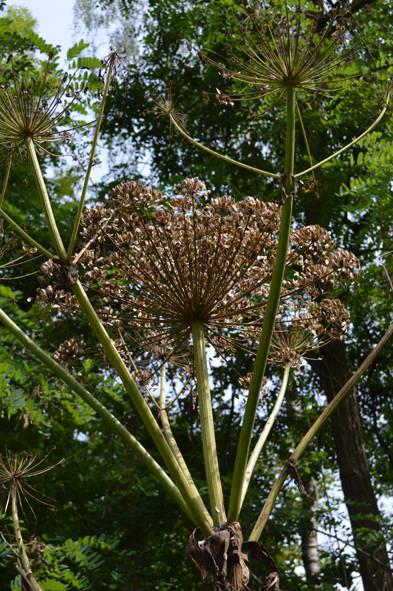 Heracleum mantegazzianum blog.jpg