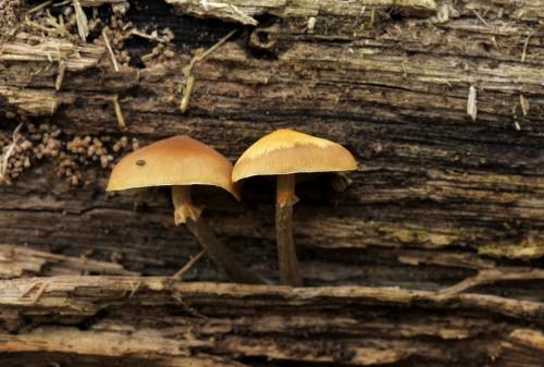 Galerina marginata (1) blog.jpg