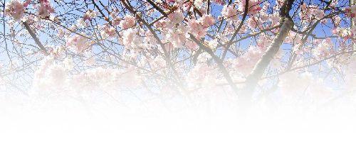 Des amandiers  au printemps
