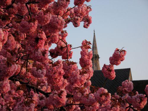 Saint Donat et les cerisiers en fleur, nous le 24-04-2009