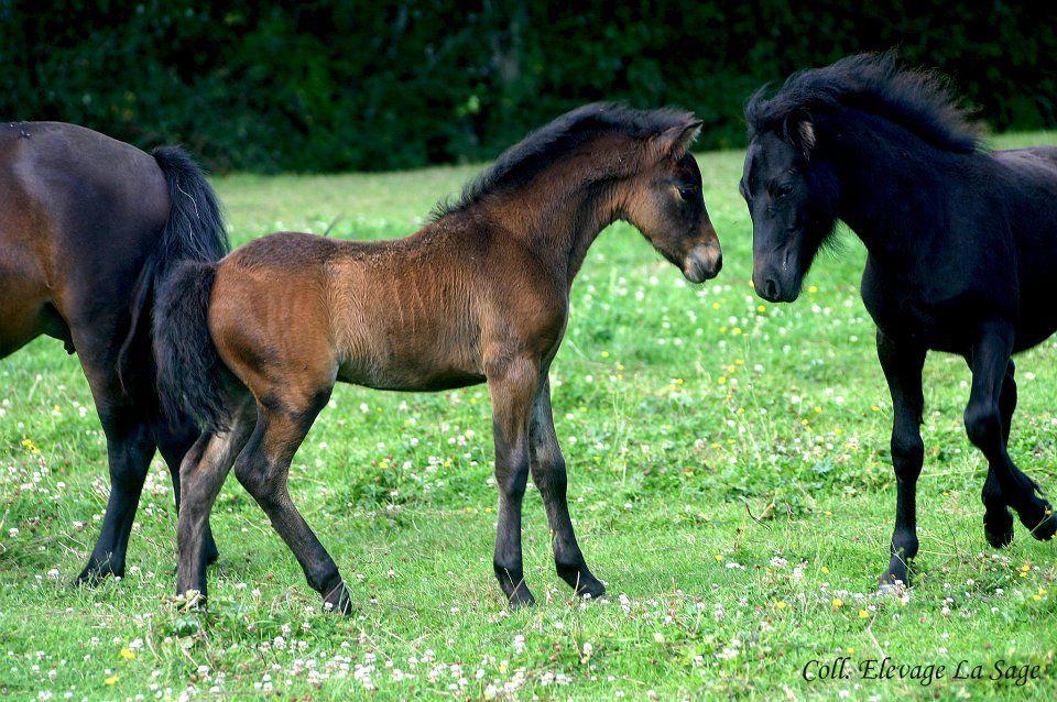 Elevage La Sage - Poneys du Dartmoor