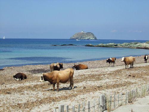 Il n'y a plus d'herbe en CORSE pour les vaches !!