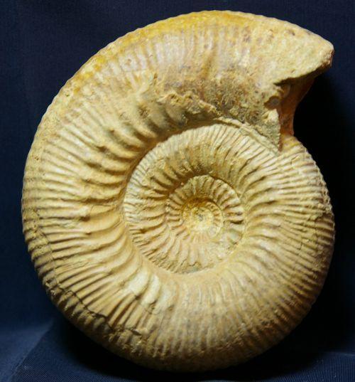 Stephanoceras humphresianum (Sowerby 1825) Bajocien inf. du Calvados, 110 mm