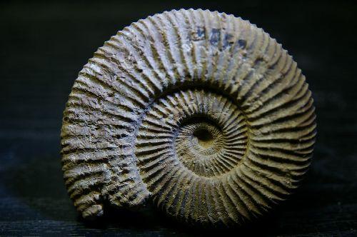 Perisphinctes (Dichotomosphinctes) antecedens (Salfeld 1914) Région Niort, Deux-Sèvres