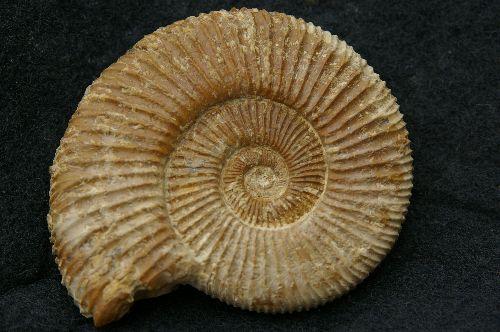 Autre specimen de Perisphinctes (Dichotomosphinctes) antecedens  Deux-Sèvres