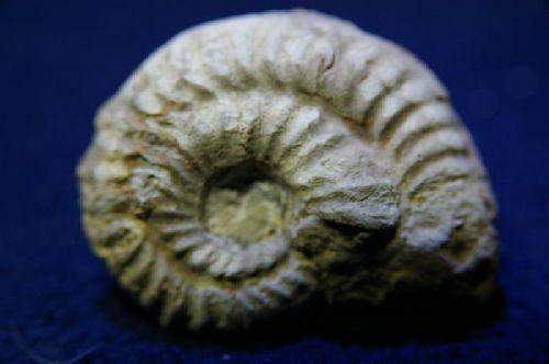 Ochetoceras(O.) hispidum (Oppel 1863) Oxfordien moyen, Région Niort, Deux-Sèvres 45 mm