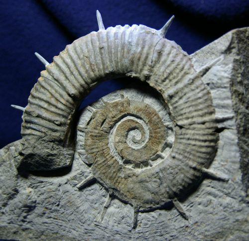 Crioceratites duvali (Léveillé 1837) var. alpensis, Hauterivien sup. de la  Montagne de Céüse, Hautes-Alpes, 120 mm