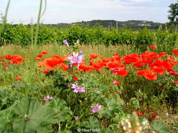 coquelicot bedarrides_fleurs (4).JPG