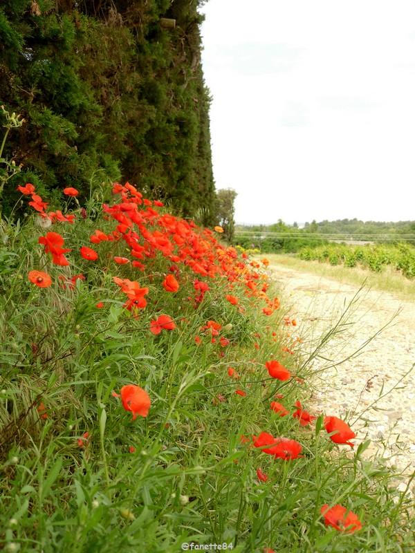 coquelicot bedarrides_fleurs (3).JPG