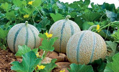 Les melons de coucourdan j 39 aime le vaucluse - Quand cueillir un melon ...