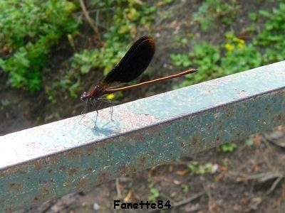 Une libellule à Entraigues sur La Sorgue