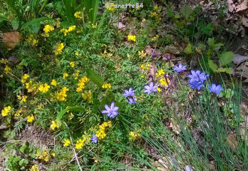 Fleurs champêtre au Crestet (début mai 2015)