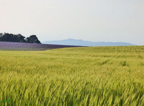 Champ d'épeautre et lavande au plateau de Sault (10/07/2015)