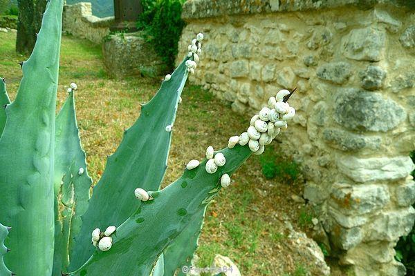 Escargots petits blancs de Provence