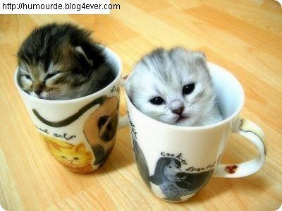 chat dans  tasse