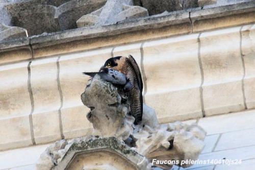 Faucons pèlerins20140410js24.JPG