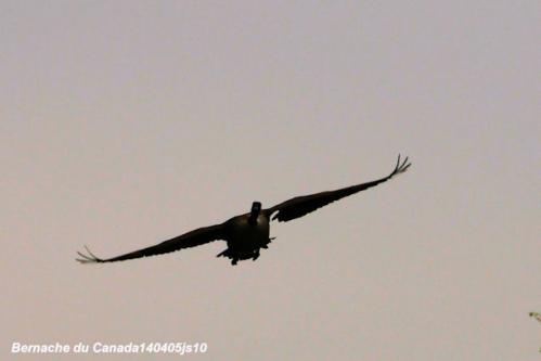 Chant noctune des oiseaux03.JPG
