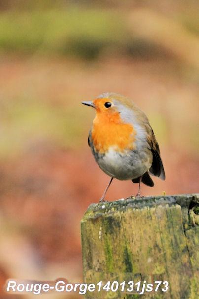 Oiseaux migrateurs désorientés JS.JPG