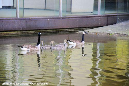 Famille de Bernaches du Canada