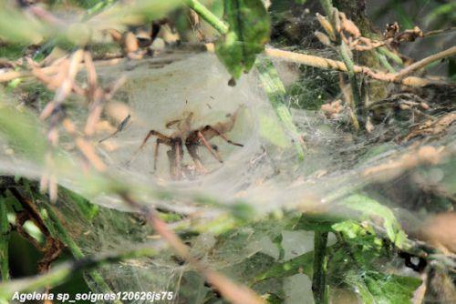 Araignée   Agelena sp