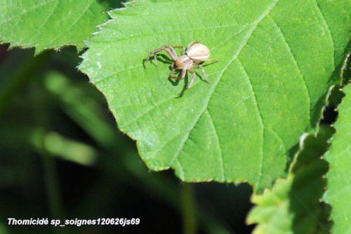 Araignée chasseresse (Thomicidé)