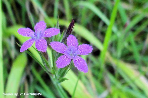 Oeillet sp   (Caryophylacée)