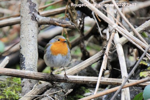 Rouge-Gorge familier