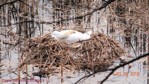 Cygne tuberculé sur son nid