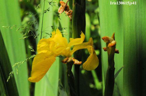 Iris faux-acore