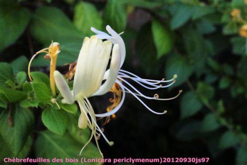Chèvrefeuilles des bois (Lonicera periclymenum)