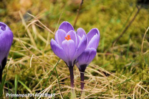 Crocus en fleurs