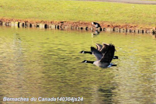 Bernaches du canada en vol (Branta Canadensis)