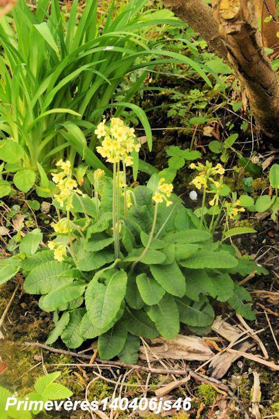 Primevère élevée     Primula elatior