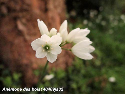 Alliaire officiale     Alliaria petiolata