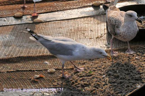 Goéland au retour des pêcheurs de crevettes