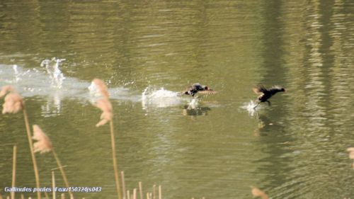 Défense du territoire  (Gallinules poules d'eau)