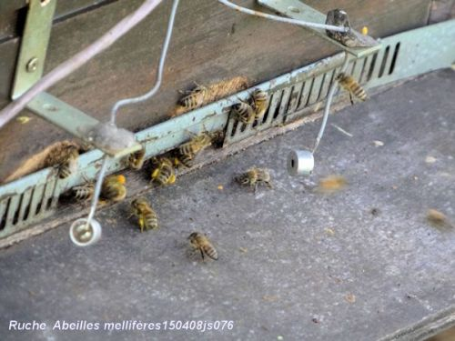Abeilles mellifère (ruche Jardin Jean Massart)